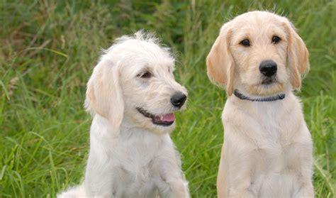 labradoodle puppy coat change labradoodle breed information