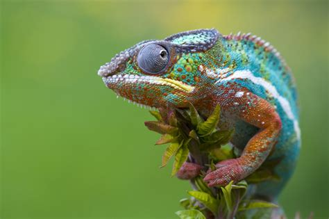 do iguanas change color chameleon info facts and new photos the wildlife