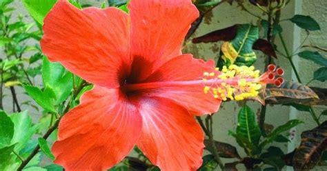 wallpaper bunga inggris bunga sepatu struktur gambar dan bagian bagiannya