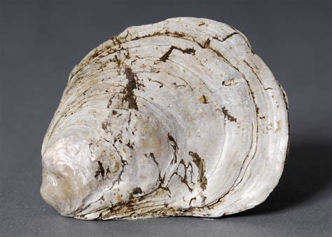 oyster shell fragment of oyster shell large