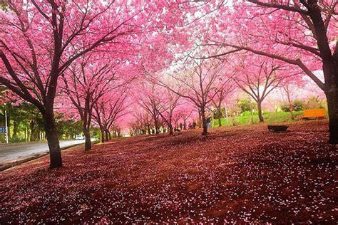 wallpaper bunga sakura terindah flowers pemandangan bunga sakura terindah