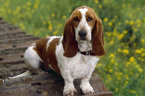 basset hound puppies for sale basset hound puppies for sale from reputable breeders