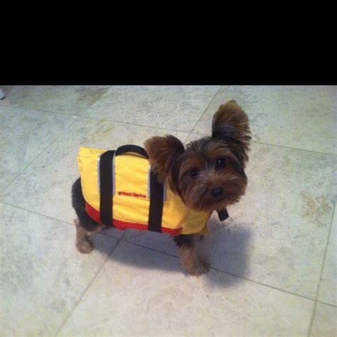 can yorkies swim yorkies can t swim my yorkies own me