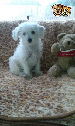 schnoodle puppies for sale only 2 remaining malpas cheshire f1 schnoodles one boy remaining brighouse west