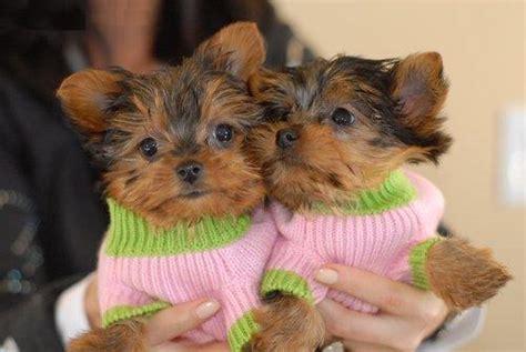 teacup yorkie breeders seattle terrier teacups seattle dogs for sale puppies for sale seattle 299641