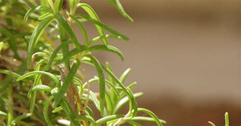 how to save a dying plant how to save a dying rosemary tree ehow uk