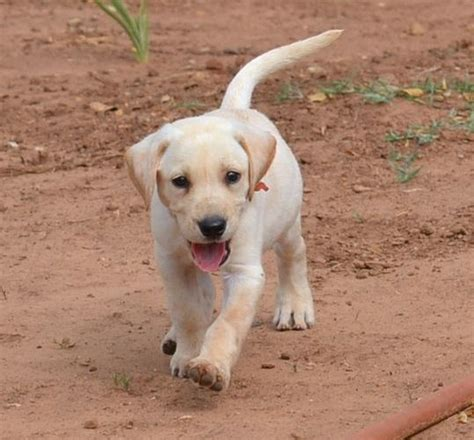 american lab puppies yellow american lab puppies field bred