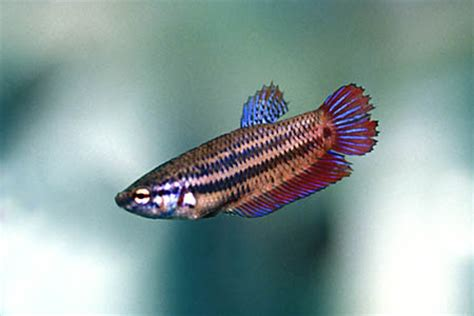 betta splendens alimentazione betta splendens in acquario allevamento e riproduzione