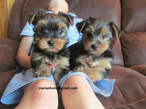 pet stores that sell teacup yorkies teacup yorkie puppies available gorgeous teacup yorkie breeds picture