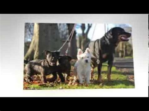 rottweiler and westie puppies rottweiler and west highland terrier puppies