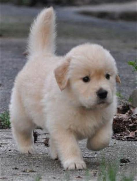 golden retriever puppies doing things best 25 golden retriever puppies ideas on
