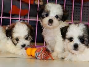 malti tzu puppies dogs for sale in atlanta georgia