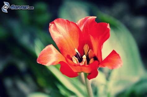 pianta fiore rosso fiore rosso