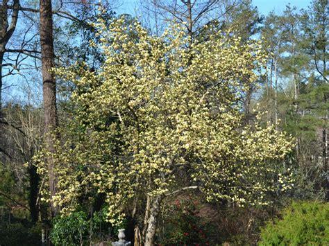 Magnolia Garden Nursery by Trees That Bloom Pink In Fairview Garden Center
