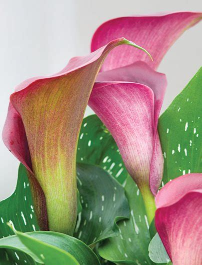 how to grow and care for calla lily flowers garden design