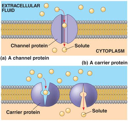 a protein channel is a transport protein that physiologue the science of biological function