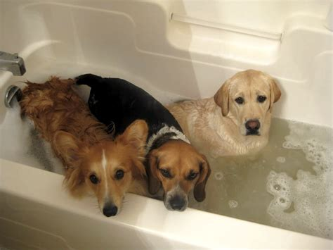 dog in a bathtub video 10 dogs who felt betrayed at bath time