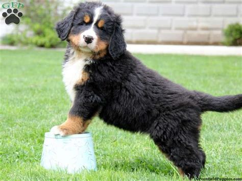 bernese mountain poodle puppy 1000 images about animal lover on husky labs and puppys