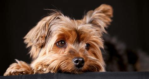 yorkie puppy care guide yorkie vaccination schedule goldenacresdogs
