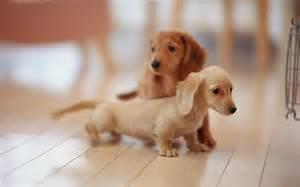 Dachshund Puppies Puppy Dogs Miniature Dachshund Puppies