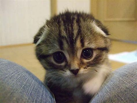 what is the cutest in the world fact scottish folds are the cutest cats in the world cutiepatooties