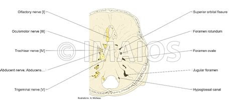 diagram of cranial nerves illustrations and diagrams of the 12 pairs of cranial nerves