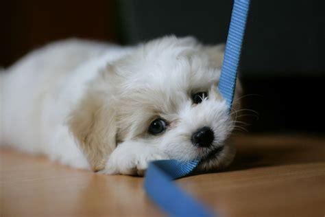 puppy chews on leash dunckel veterinary hospital veterinarian in davison mi usa leash