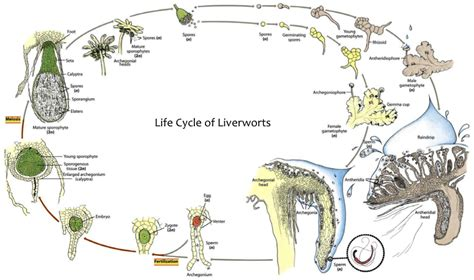 liverwort cycle diagram lifecycles biological sciences 439 with guo at