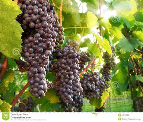 imagenes uvas rojas uvas rojas maduras en un vi 241 edo im 225 genes de archivo libres
