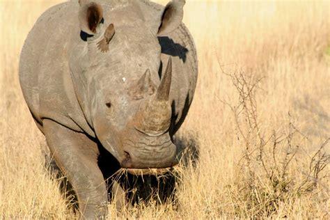 Big Picture Post Nation 5 by Kruger Nationalpark Nashorn