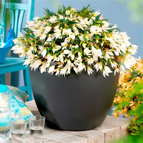 Begonia Basket 1 begonia crackling white 1 1ltr flowers for
