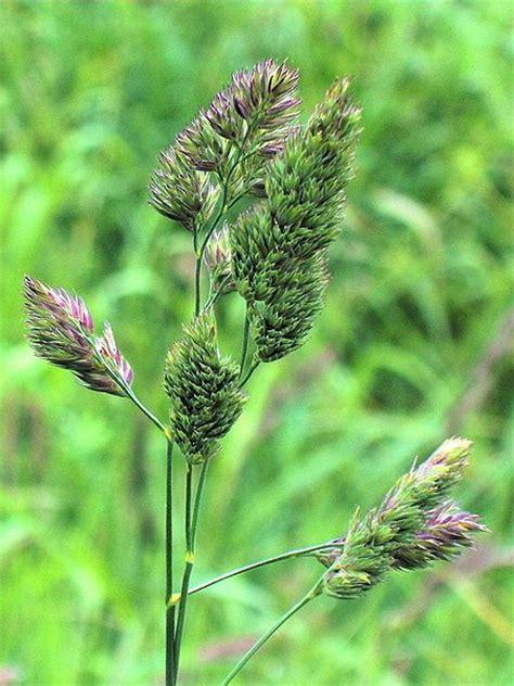 Cocksfoot grass (Dactylis glomerata) ? Bee Happy Plants