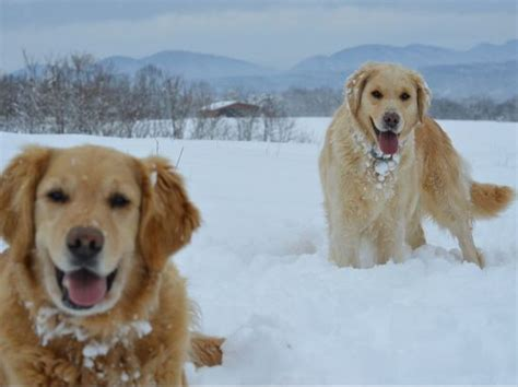 different shades of golden retrievers home www woodcreekdoodles