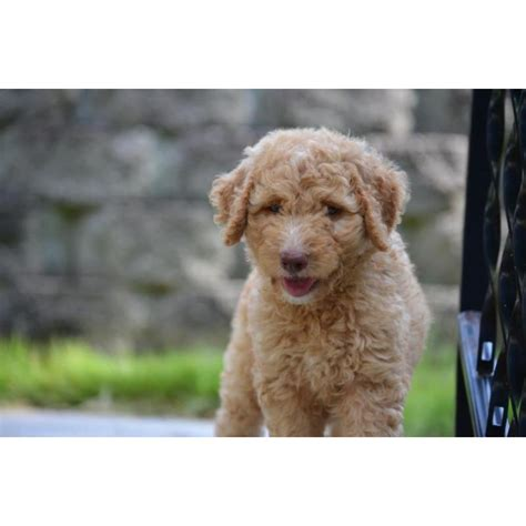 mini labradoodles carolina puppies for sale labradoodle labradoodles mini