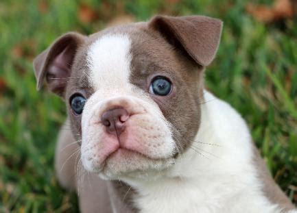 blue boston terrier puppies blue boston terriers lilac boston terriers