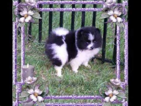 black and white parti pomeranian black and white pomeranian funnydog tv