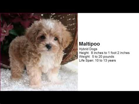 types of small house dogs sonic wallpaper picture of cute little dogs wallpaper images