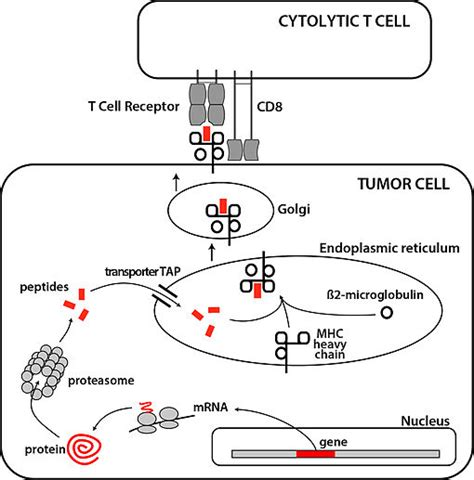targeting pattern recognition receptors in cancer immunotherapy image gallery tumour antigens