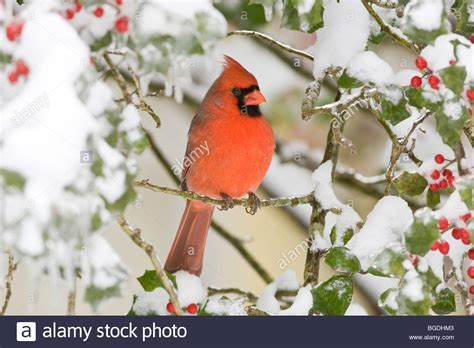 Pictures Of Cardinals In Snow