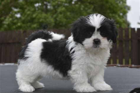 shih tzu for sale 3000 shih tzu puppies available puppy dogs shih tzu puppies shih tzu