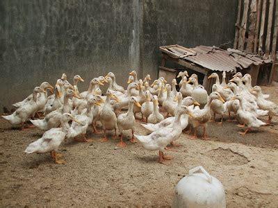 Jual Bibit Bebek Cirebon jual dod bebek peking bibit bebek peking jual puyuh