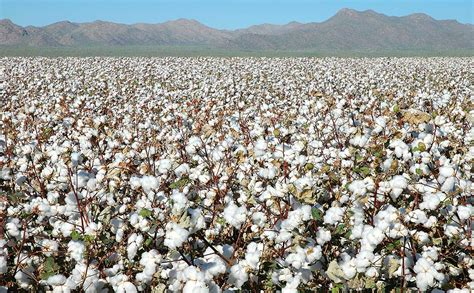 best cotton china hoards half of world s cotton supply but it maybe