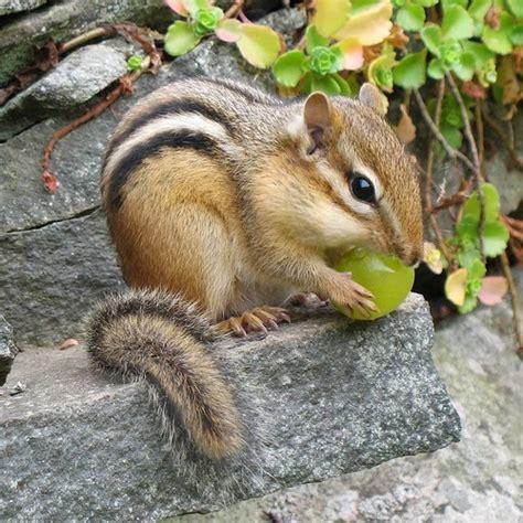 a chipmunk chipmunks animals facts pictures the wildlife