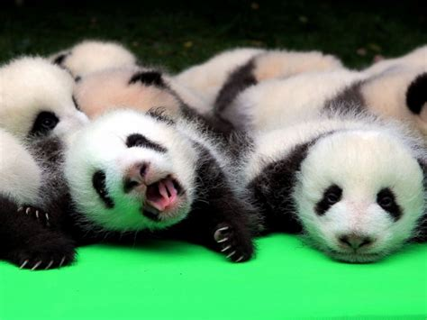 Baby Panda One silly baby panda falls flat on its during