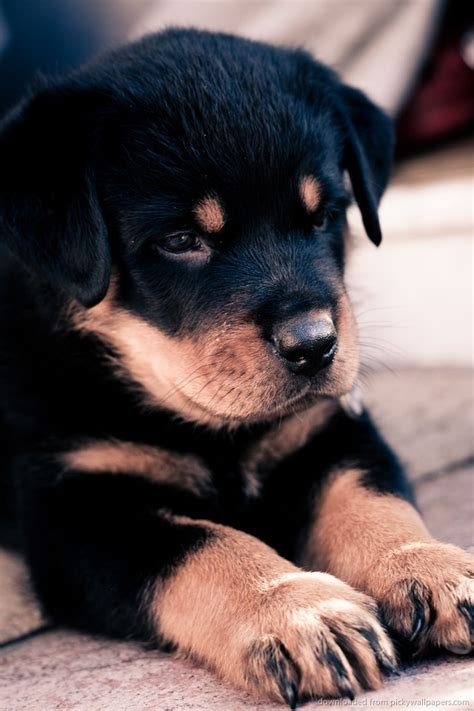 rottweiler puppies cost price range for a rottweiler puppy many