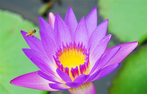 Pupuk Untuk Bunga Teratai teratai 5 cara rawat bebeja