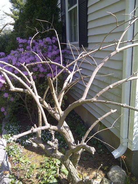 early spring hydrangea care gardendaze