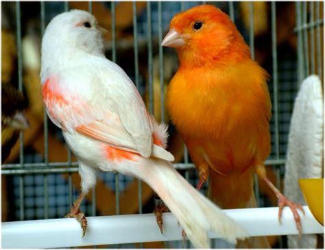 uccelli da gabbia e da voliera uccelli da gabbia e da voliera maerne fiere