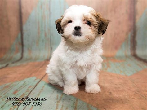 sheshan teddy bear puppies petland talks why don t you have a teddy bear puppy yet
