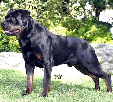 rottweiler puppies arizona home page arizona rottweilers chion puppies